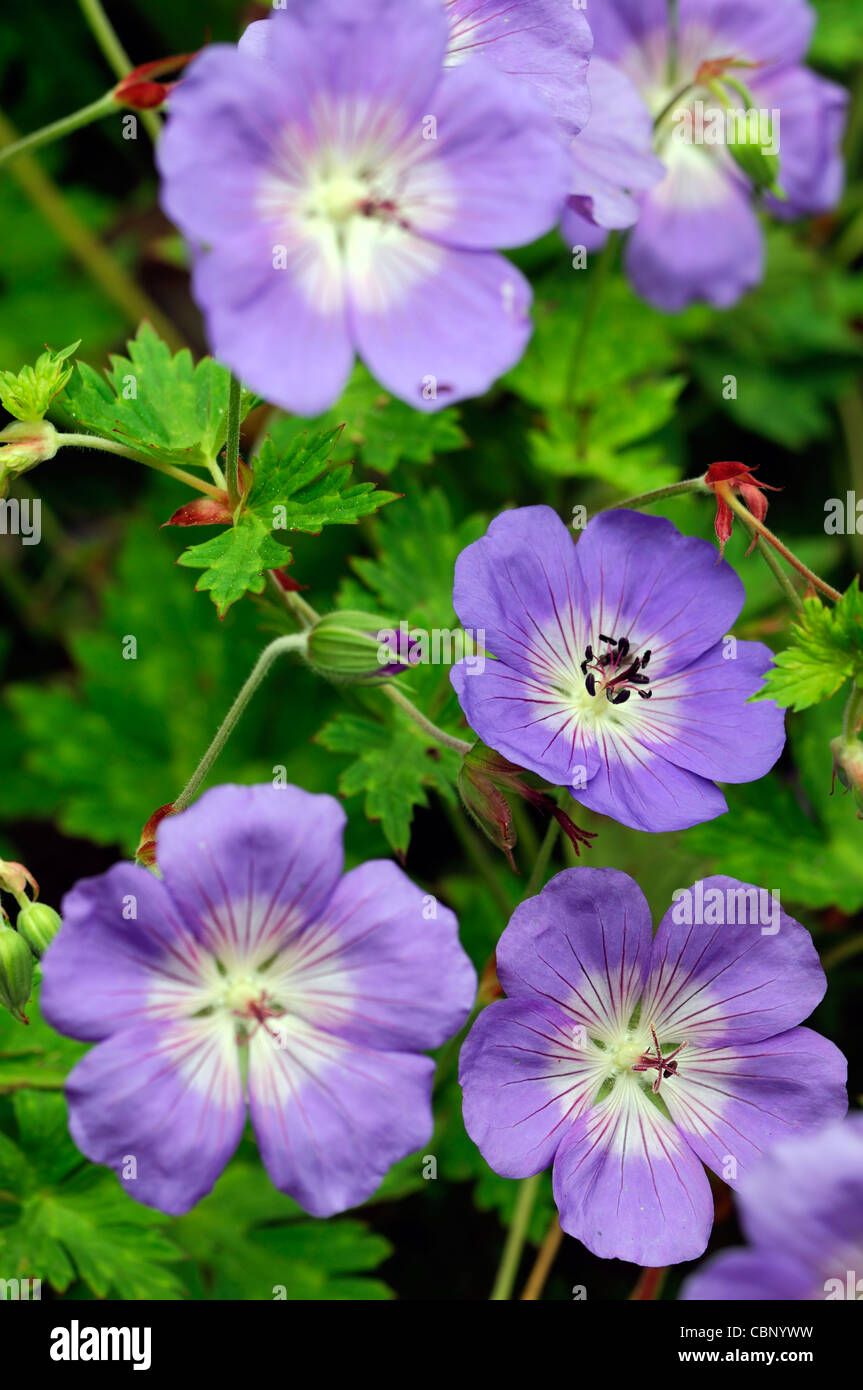 Geranium Himalayense Purple Blue Perennials Flowers Petals Plant