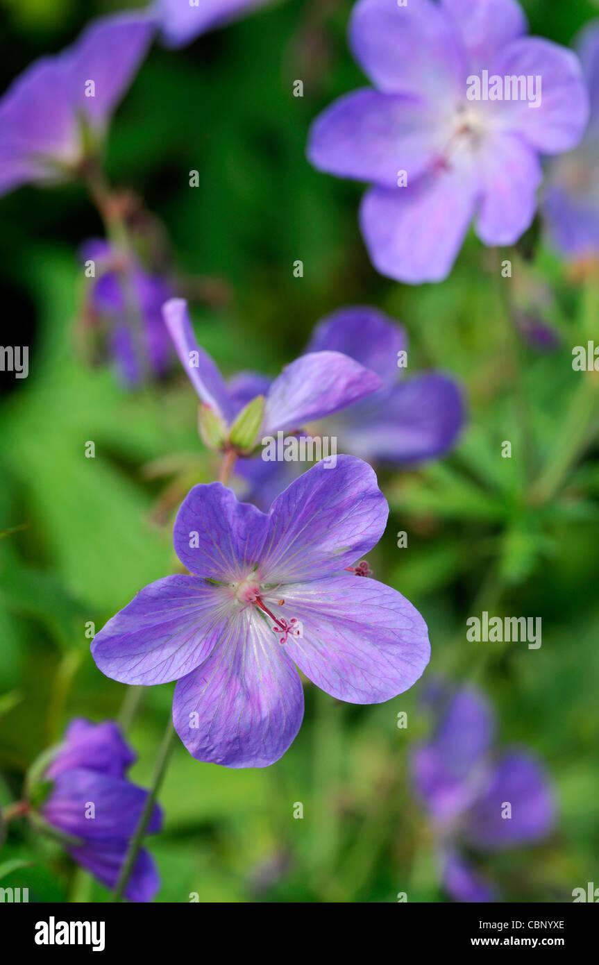 Geranium Johnsons Blue Purple Blue Perennials Flowers Petals Plant