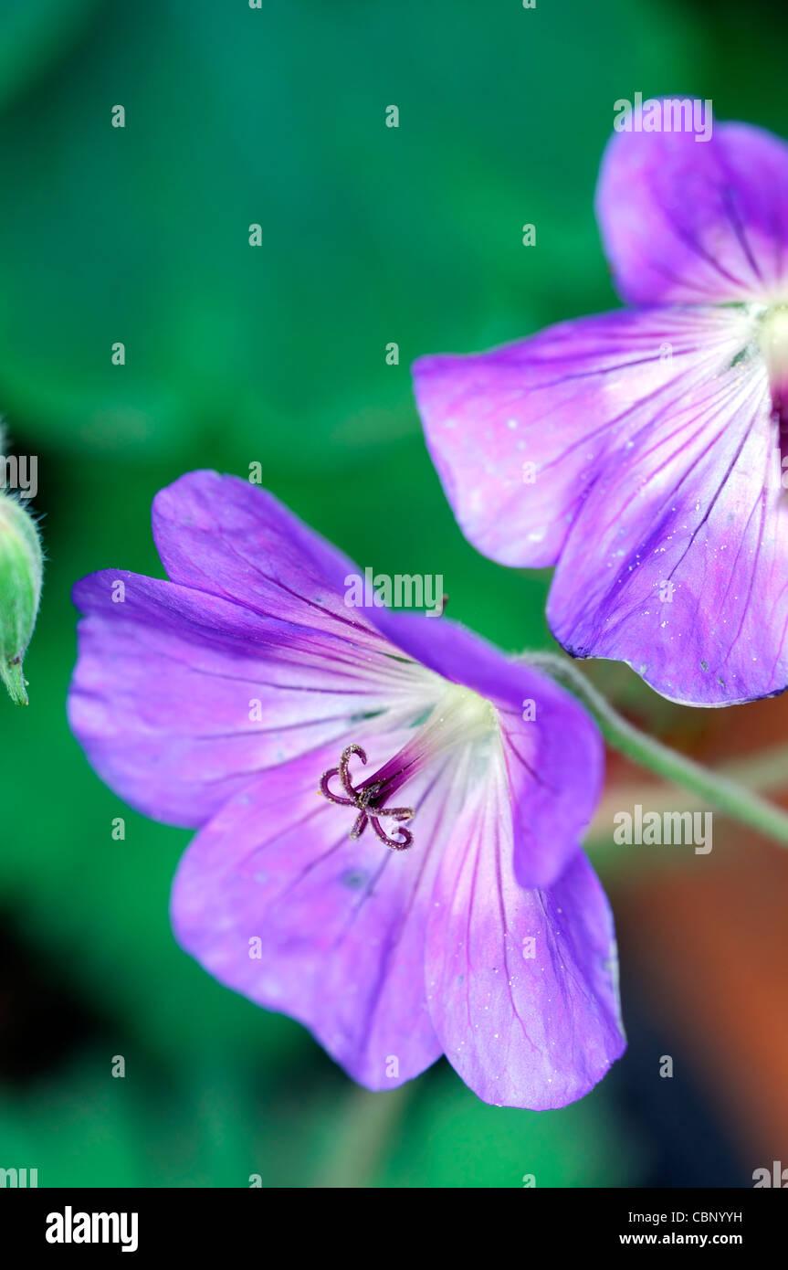 geranium jolly bee rozanne cranesbill flowers blooms blossoms perennials blue purple closeup close up Stock Photo