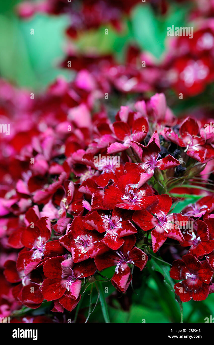 rain damaged dianthus red flowers blooms blossoms dianthus barbatus red flowers sweet williams summer closeup selective - Stock Image