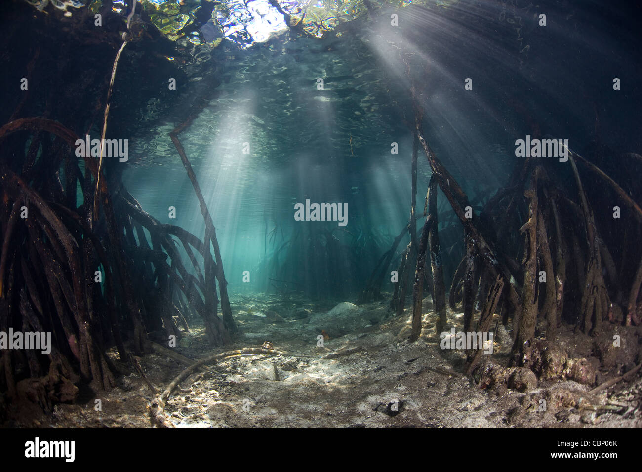 The prop roots of mangrove trees, Rhizophora mangle, provide habitat for small fishes and invertebrates to grow. - Stock Image