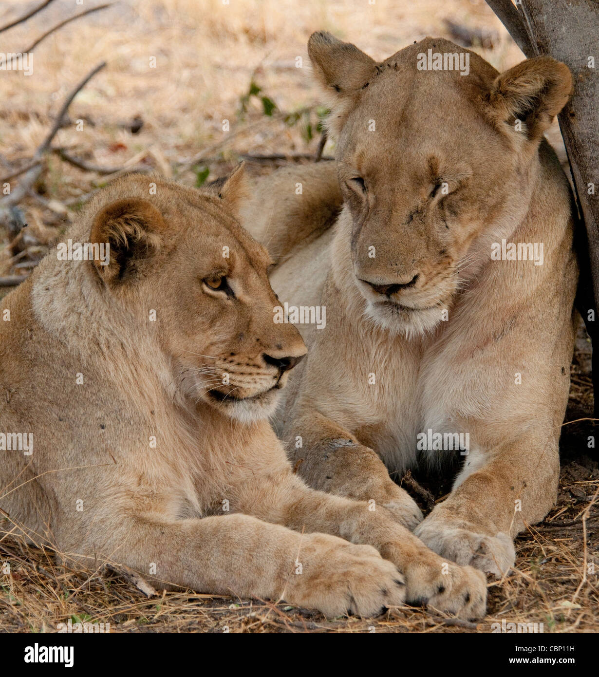 Africa Botswana Linyanti Reserve-Two lions laying down together - Stock Image