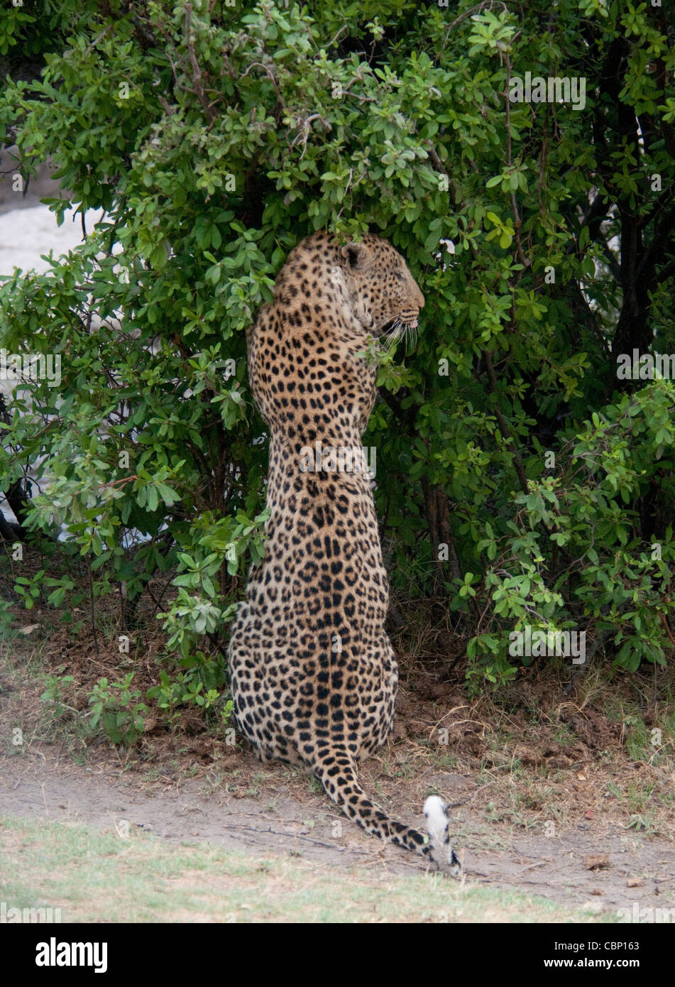 Africa Botswana Linyanti Reserve-Leopard sitting up with paws on tree - Stock Image