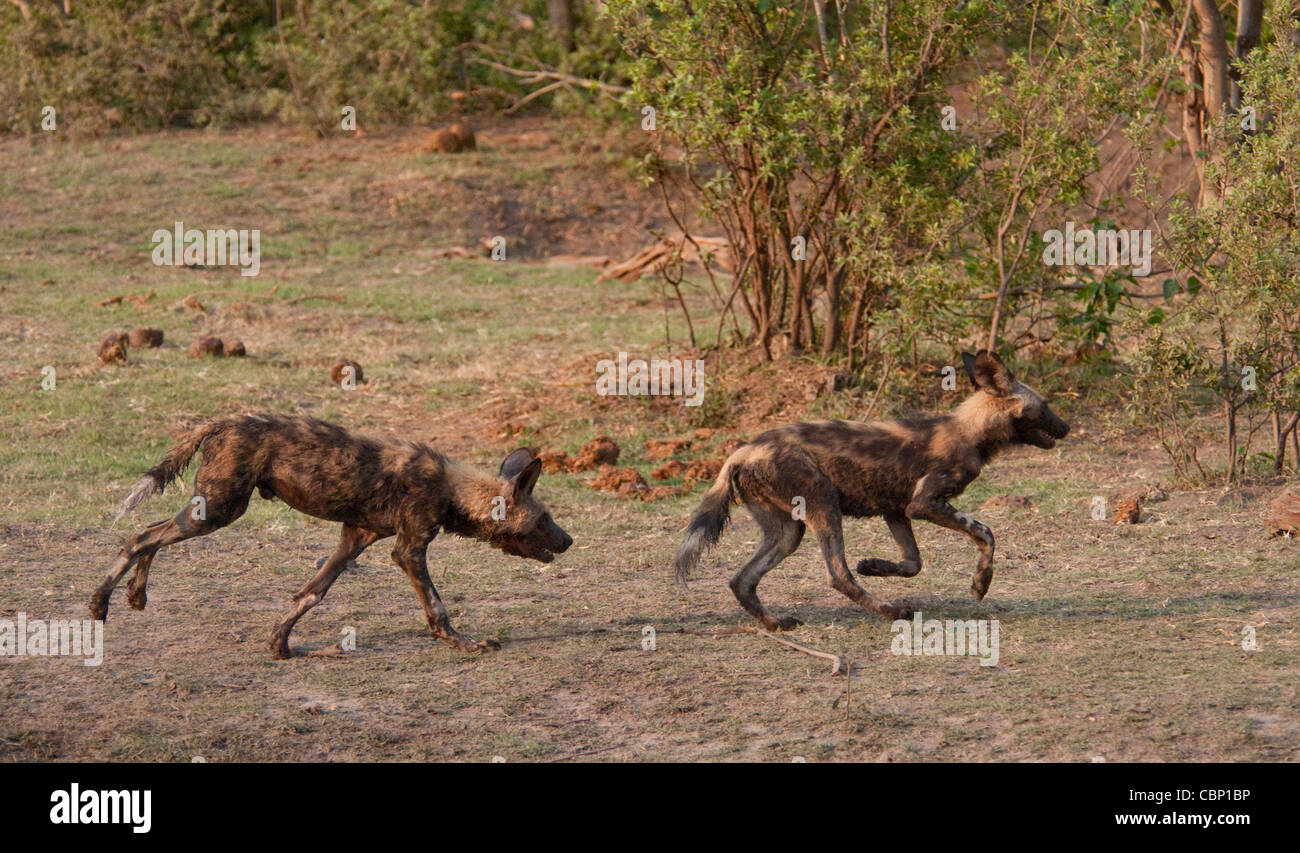 Africa Botswana African wild dogs playing and chasing - Stock Image