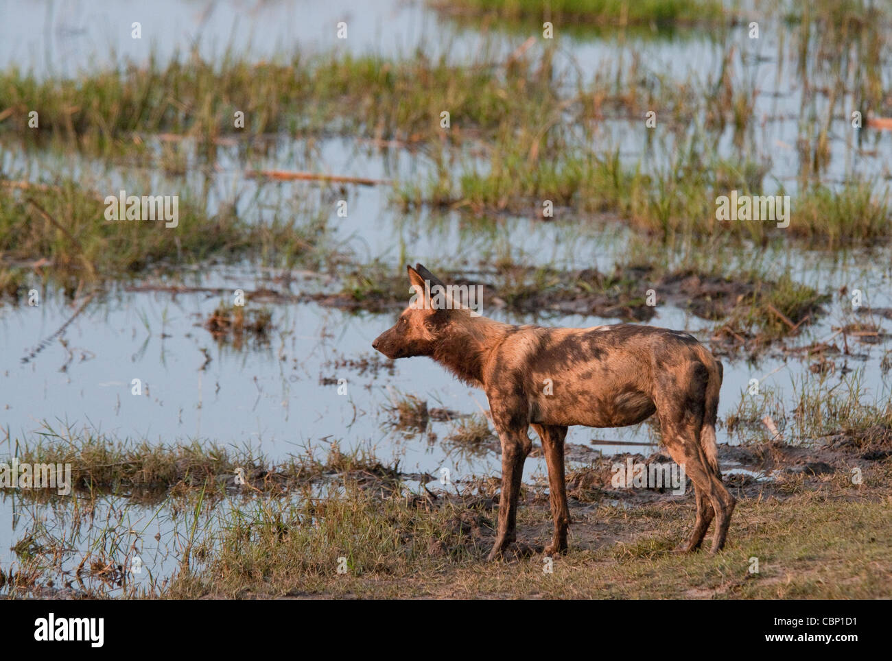 Africa Botswana- Linyanti Reserve-African wild dog standing by water Stock Photo