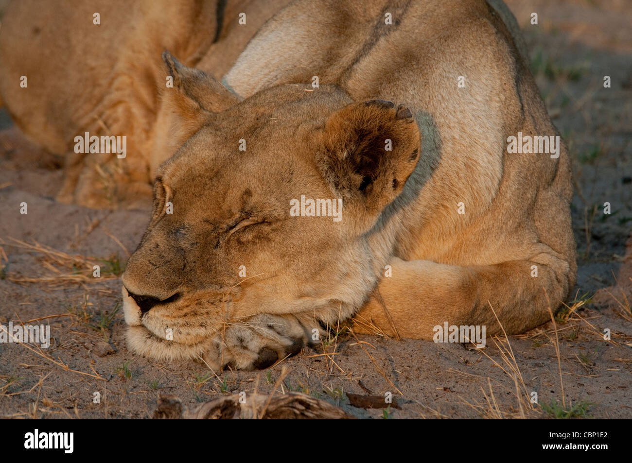 Africa Botswana Linyanti-Head show of lion resting with eyes closed - Stock Image