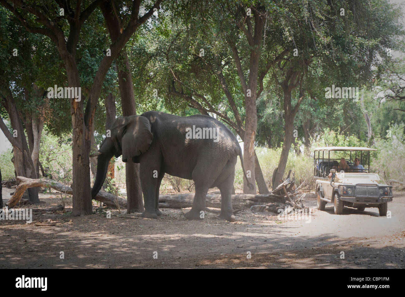 Africa Botswana-Vehicle arriving at the Duma Tau camp in the Linyanti Reserve while bull elephant is feeding off - Stock Image