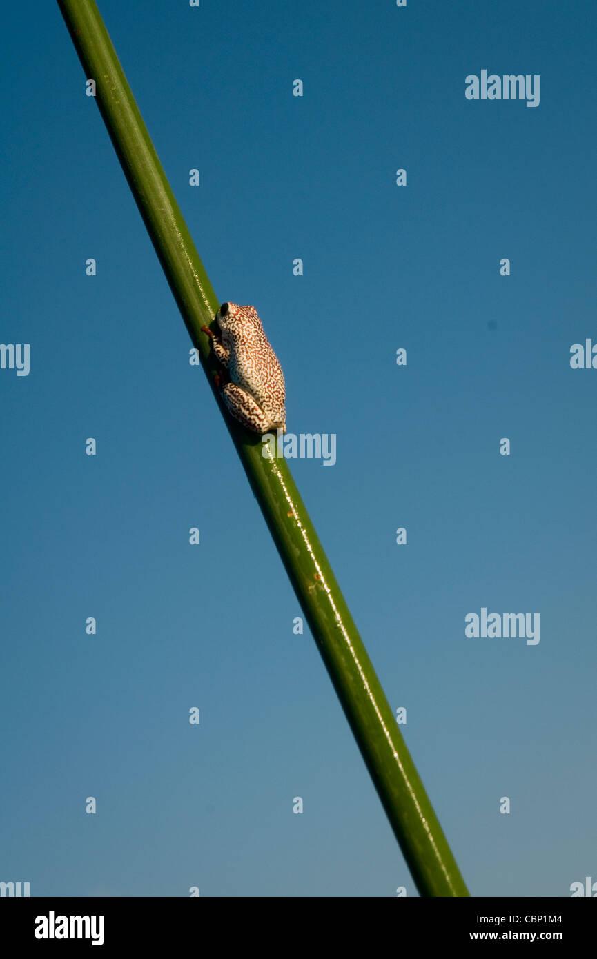 Africa Botswana Okavango Delta Golden Reed-frog - Stock Image