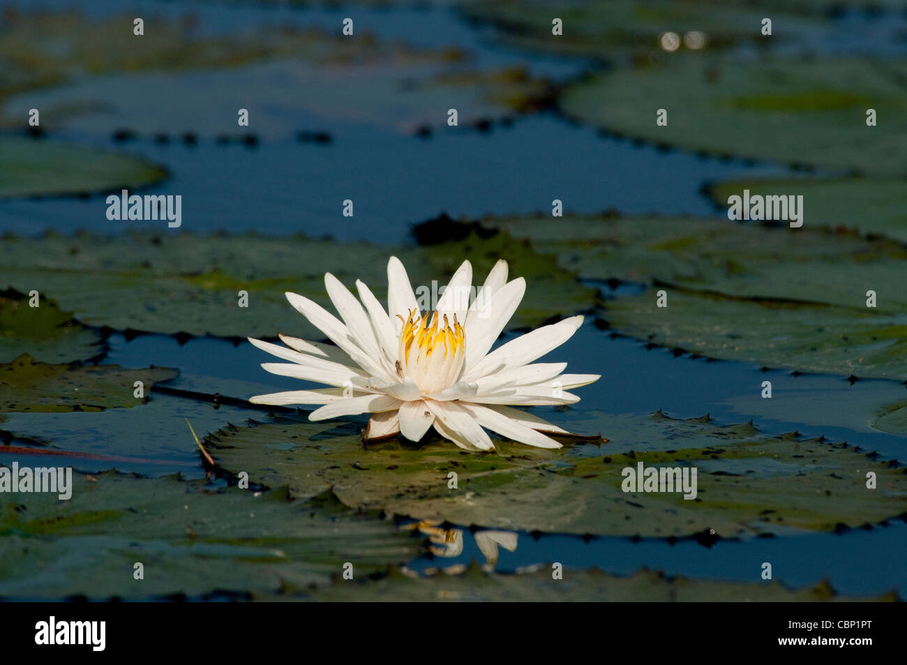 Africa Botswana  Water lily and lilypads in Okavango Delta - Stock Image
