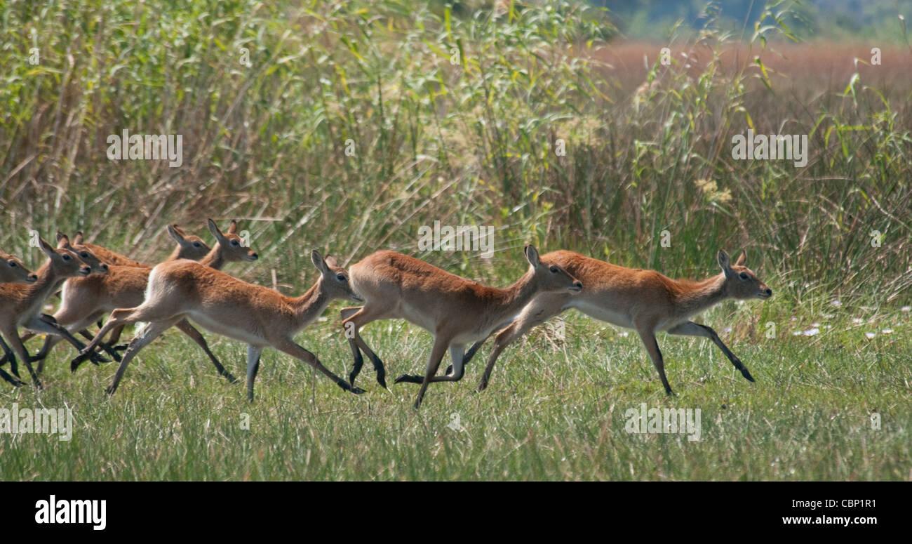 Africa Botswana Okavango Delta Red Lechwe running - Stock Image