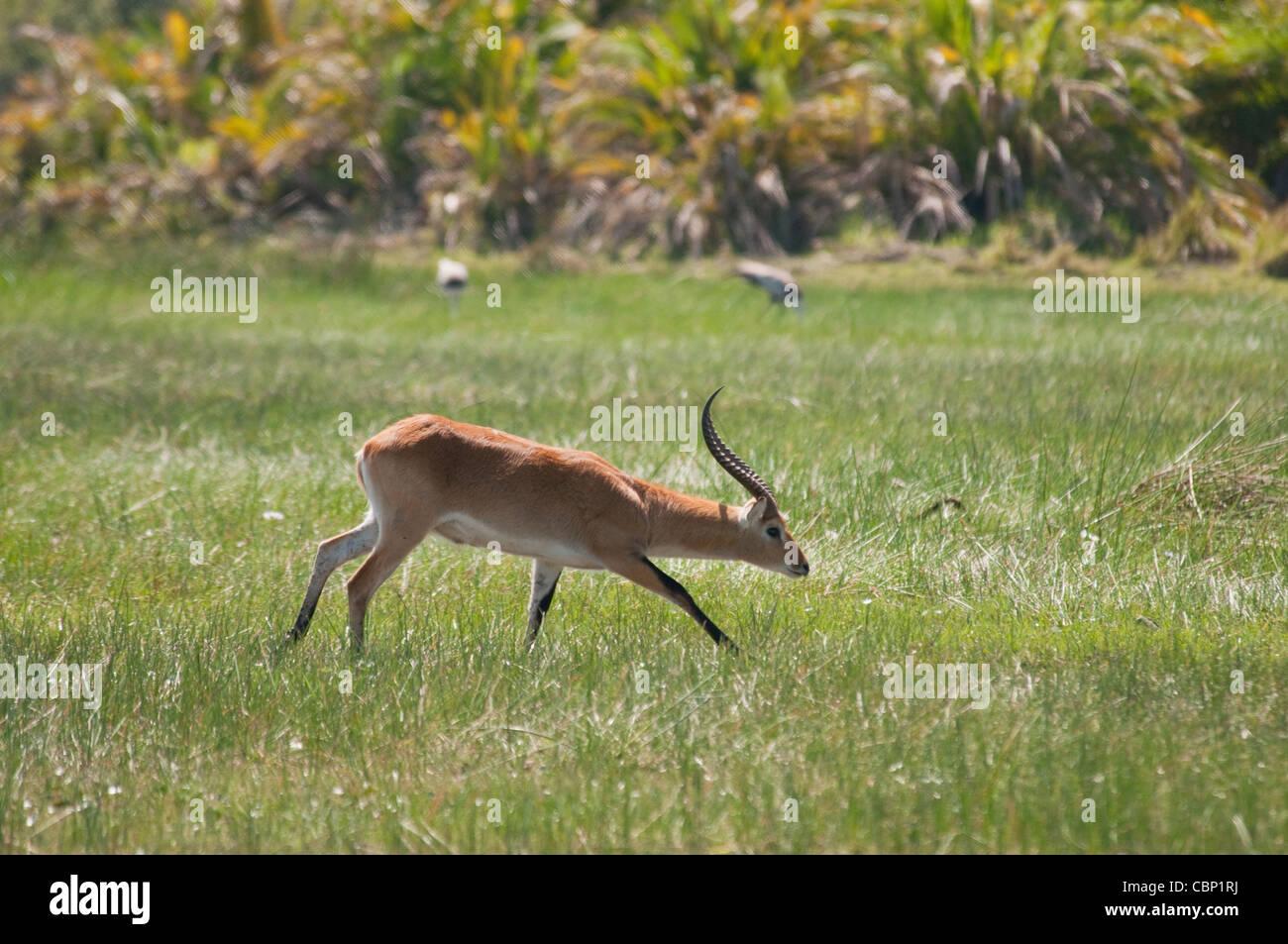 Africa Botswana Okavango Delta Red Lechwe buck running - Stock Image