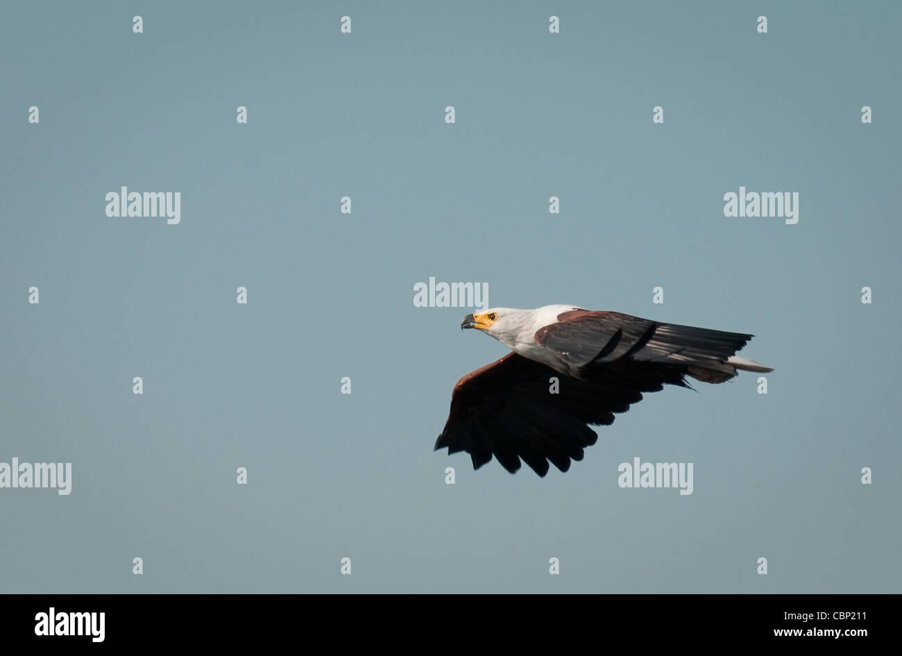 Africa Botswana-African Fish Eagle flying - Stock Image