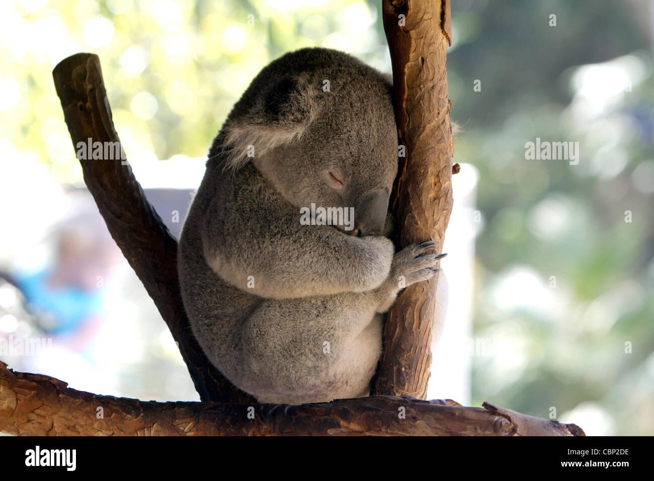 A Koala (Phascolarctos cinereus) a arboreal herbivorous marsupial native to Australia. - Stock Image