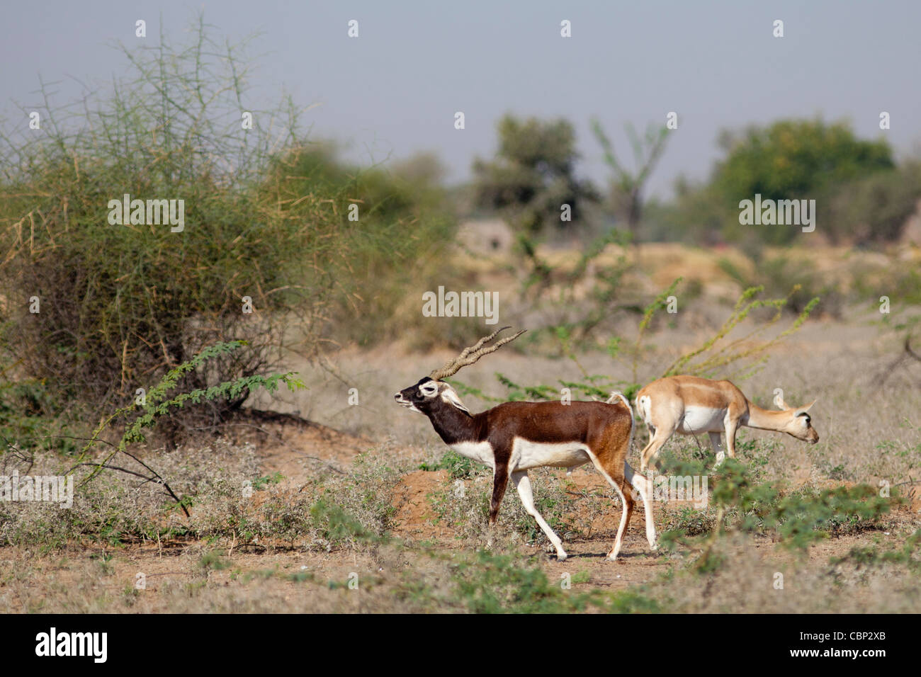 Blackbuck male antelope, Antilope cervicapra, with female hind near Rohet in Rajasthan, North West India - Stock Image