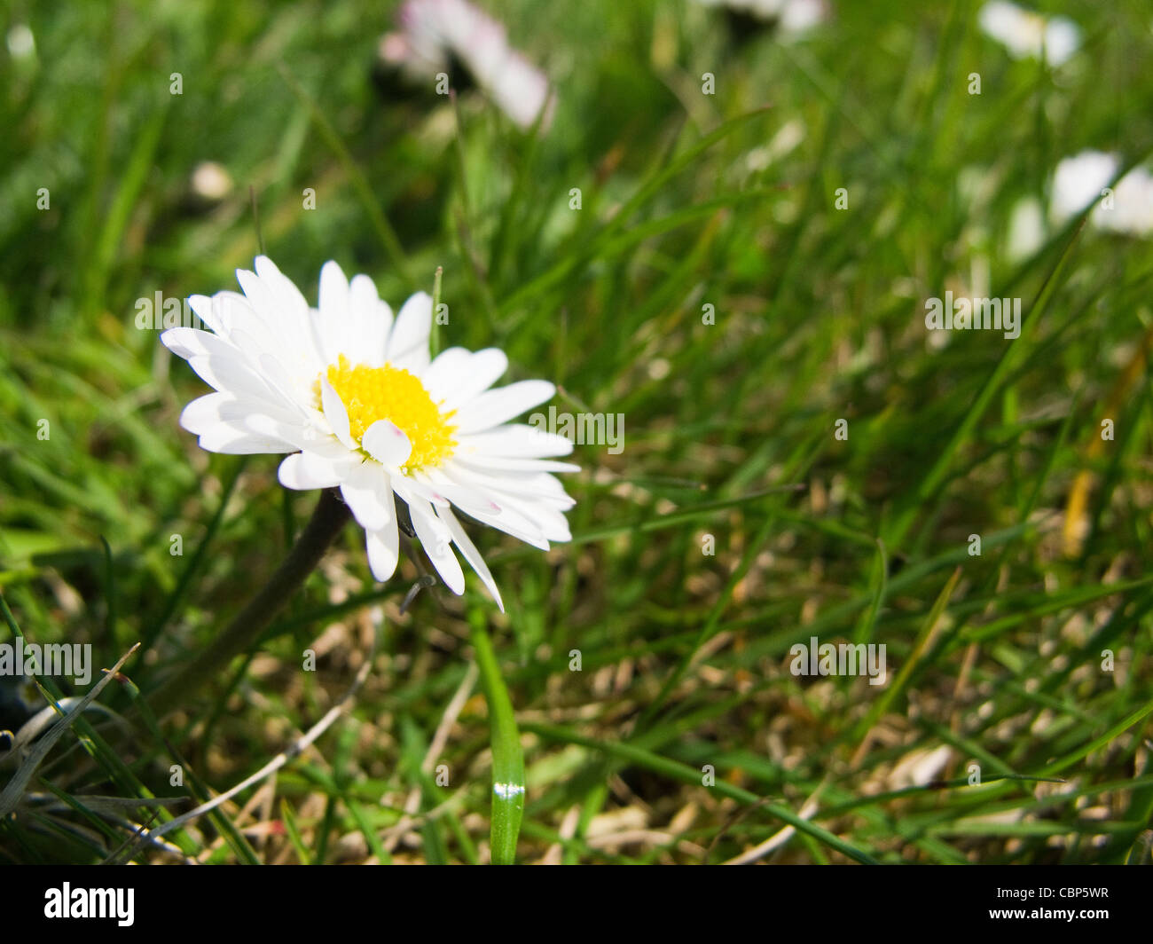 Closeup of a daisy flower, bellis perennis, on a meadow - Stock Image