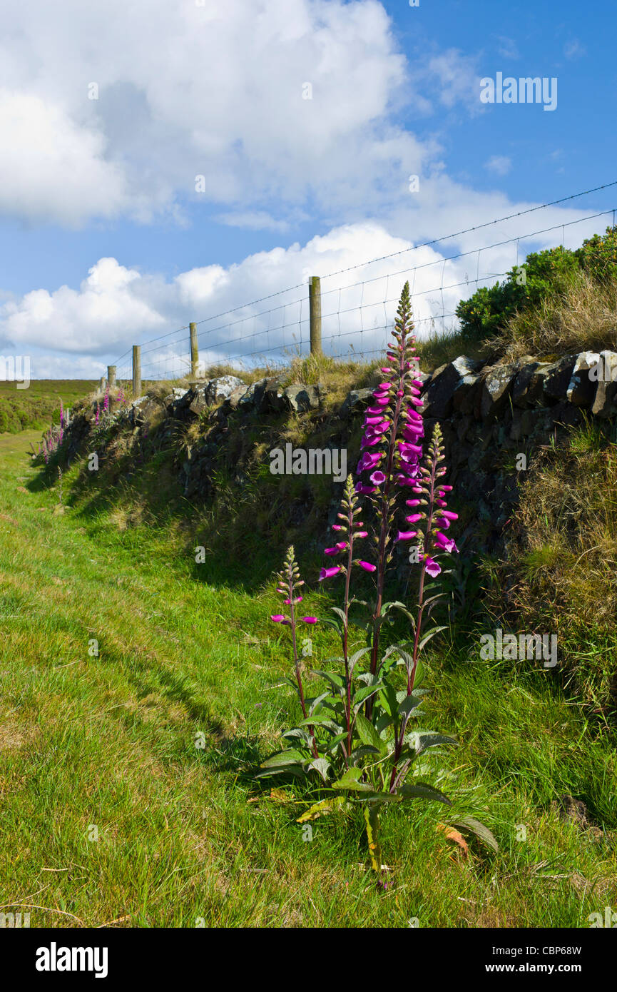 Foxgloves growing alongside a stone hedge - Stock Image