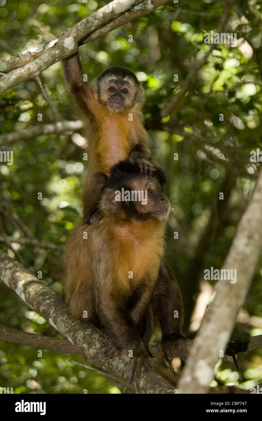 Two squirrel monkeys - a mother and her offspring - Stock Image