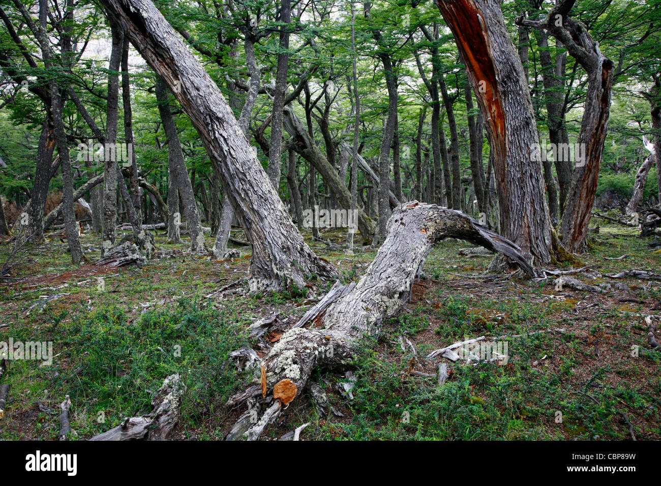 Southern Beech forest at Los Glaciares National Park, El Calafate area, Santa Cruz province. Patagonia. Argentina. - Stock Image