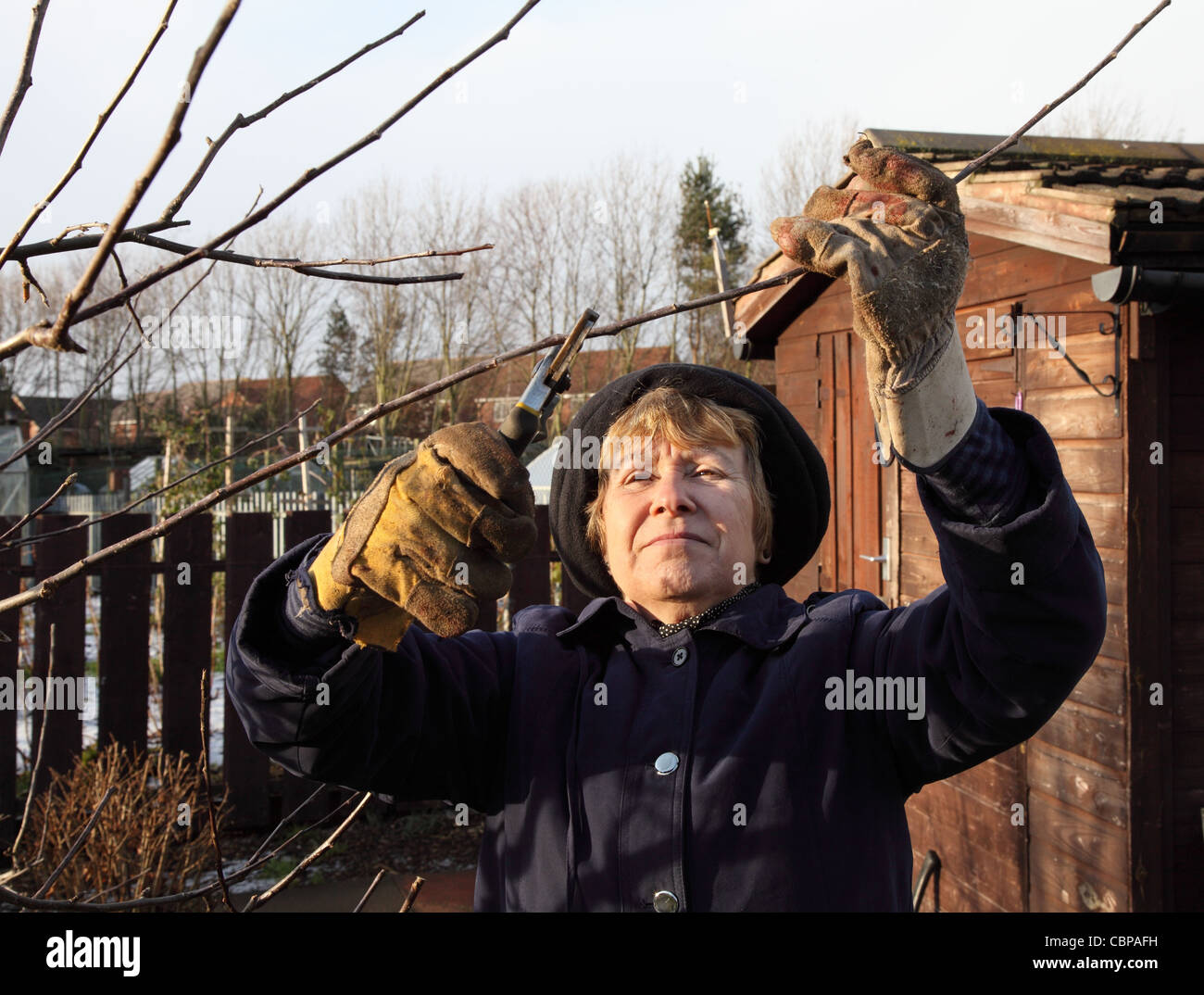 Mature woman pruning an apple tree in an allotment  at winter time. Stock Photo