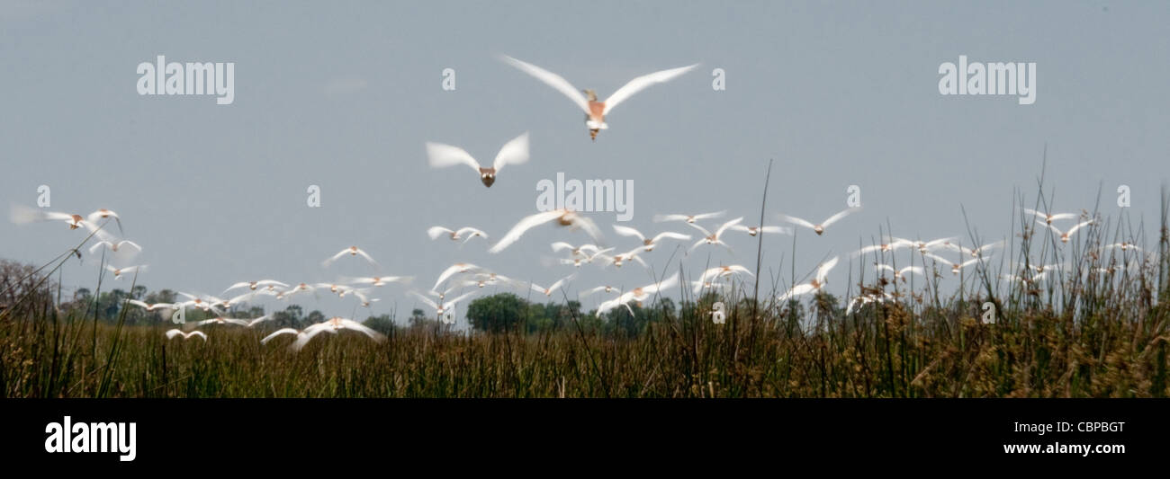 Africa Botswana Okavango Delta Squacco herons flying - Stock Image