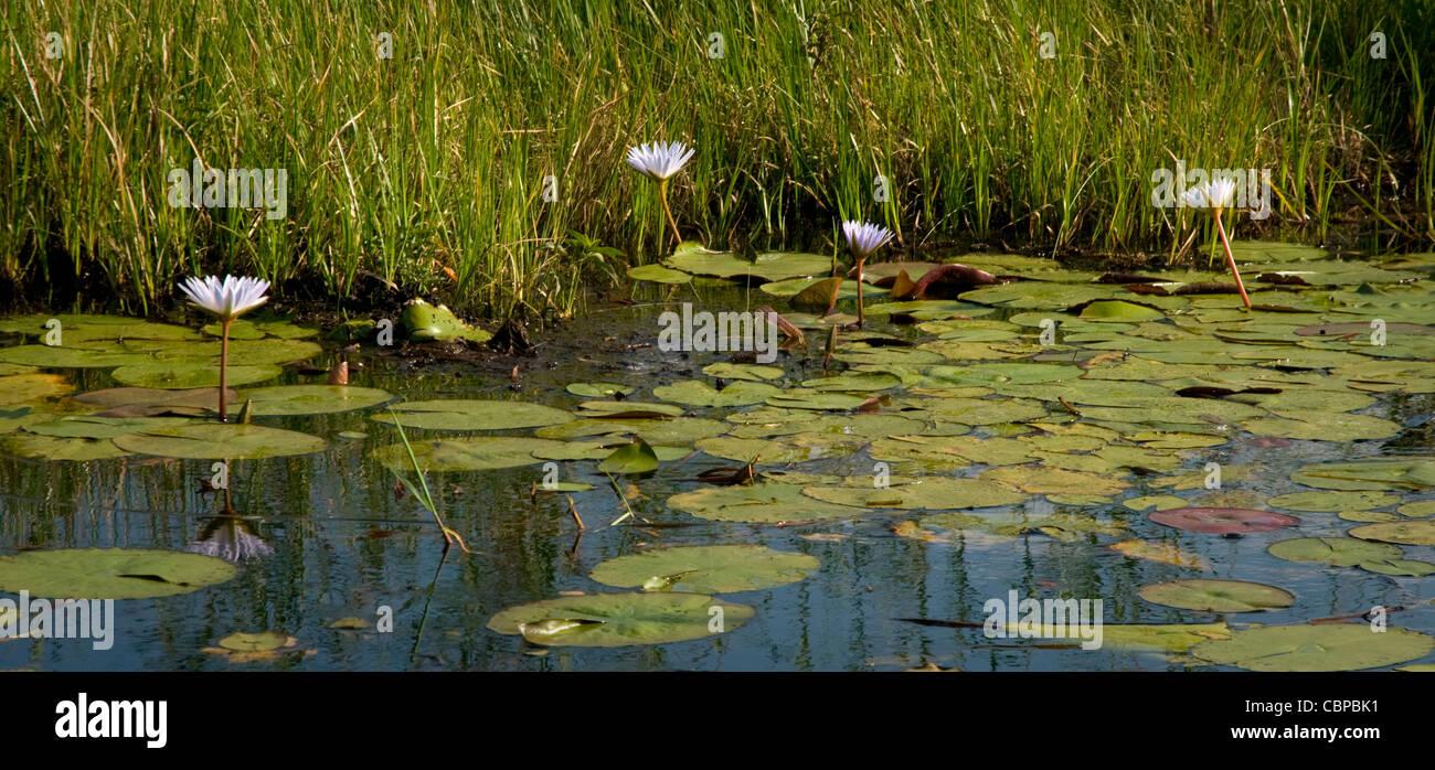 Africa Botswana Okavango Delta Scenic of lilies and lilypads in Okavango Delta - Stock Image