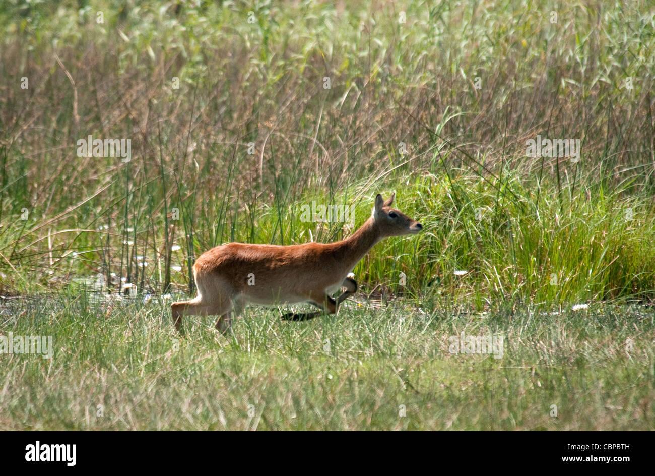 Africa Botswana Red Lechwe running - Stock Image