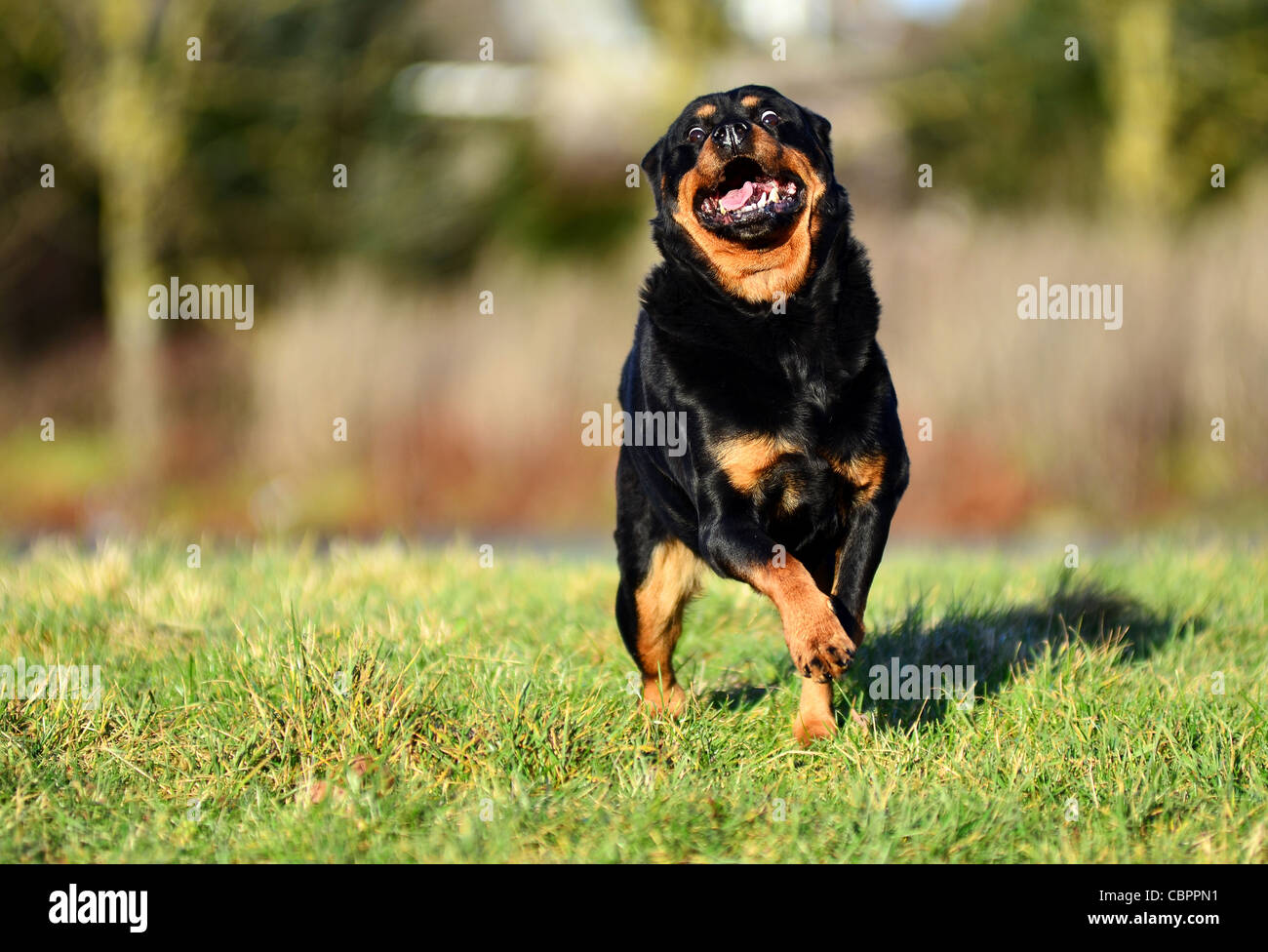 Rottweiler Dog Running Towards Camera On A Sunny Day Stock Photo