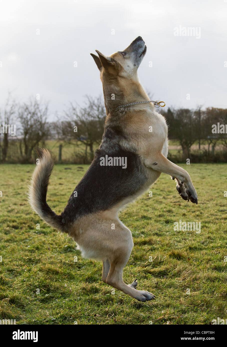 Alsatian German Shepherd Dog leaping in the air - Stock Image