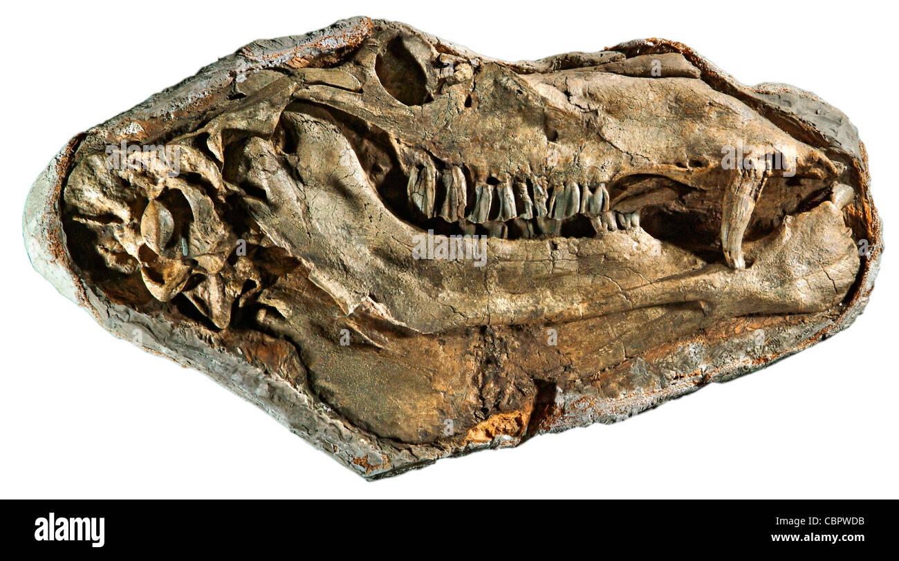 Gigantocamelus, Upper Pliocene/Lower Pliocene, Garden Co., Nebraska, fossil (Head approximately 3 feet long!) - Stock Image