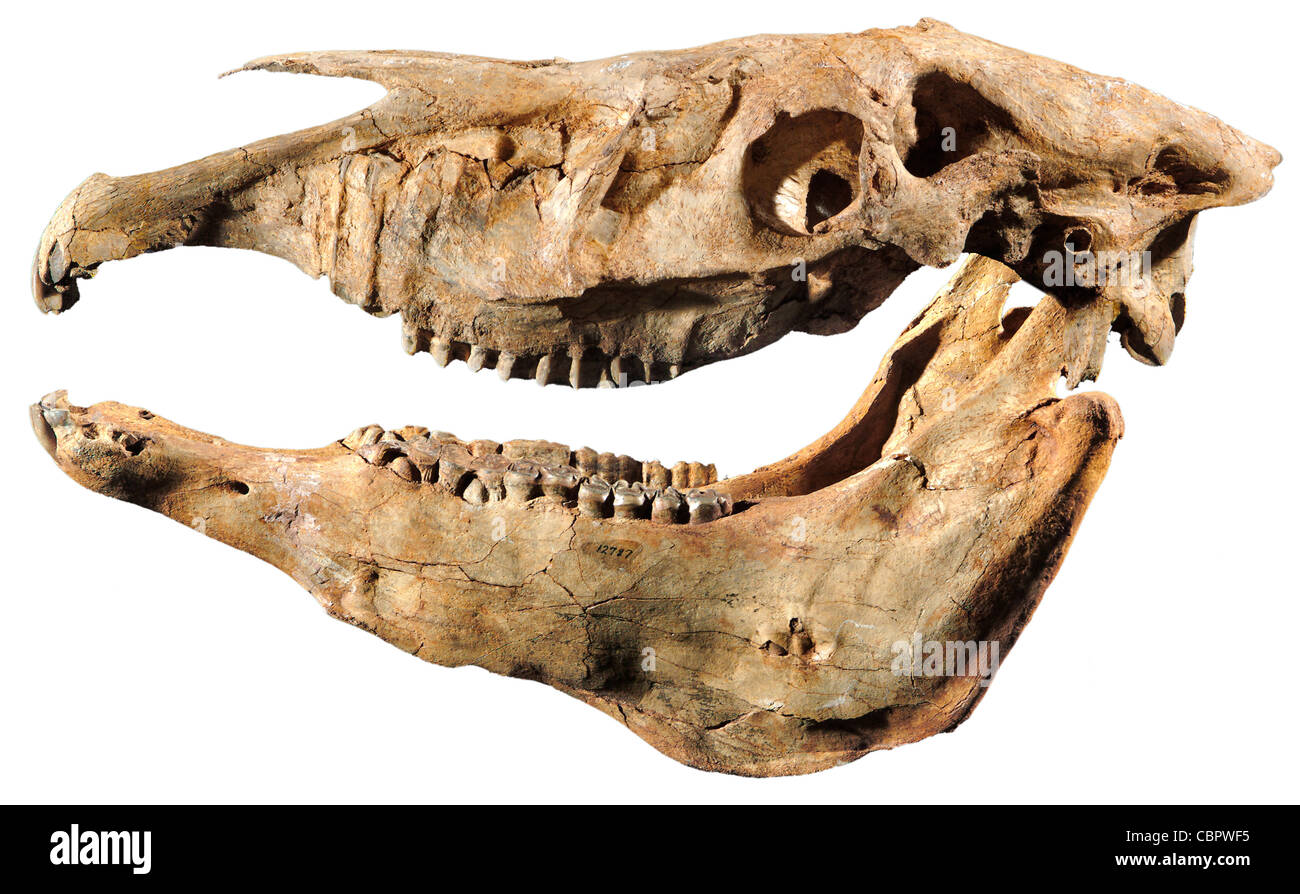 Plesippus shoshoensis, Fossil Horse Skull, Pliocene,Hagerman Lake, Idaho - Stock Image