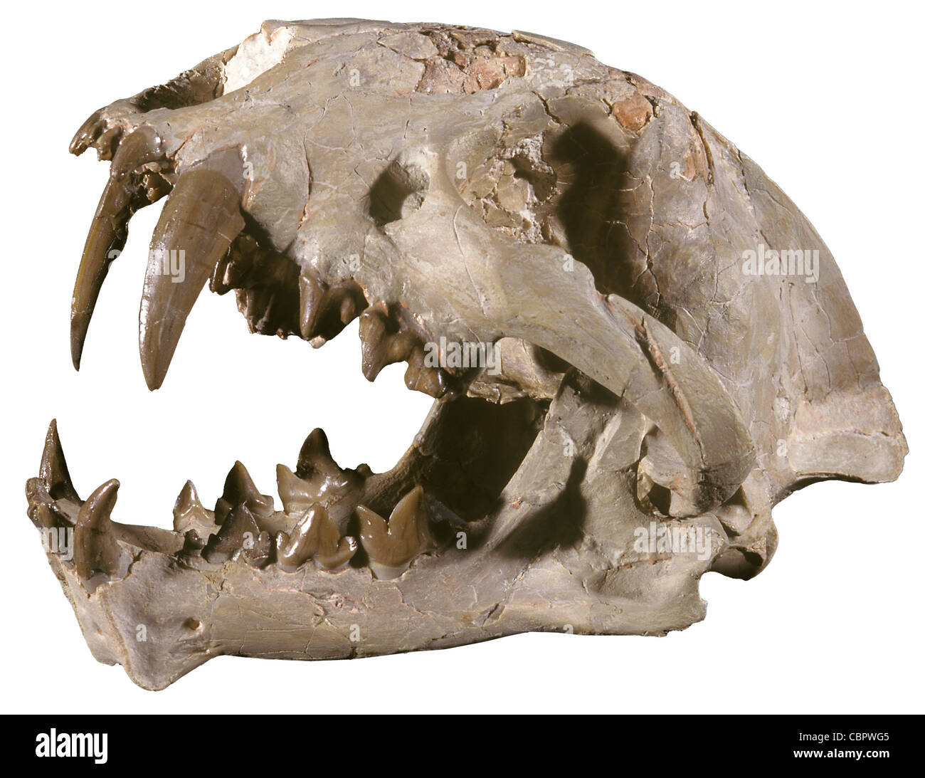 b06f700a7 Saber Tooth Cat Skull, Dinictus squalidens, Oligocene, South Dakota - Stock  Image