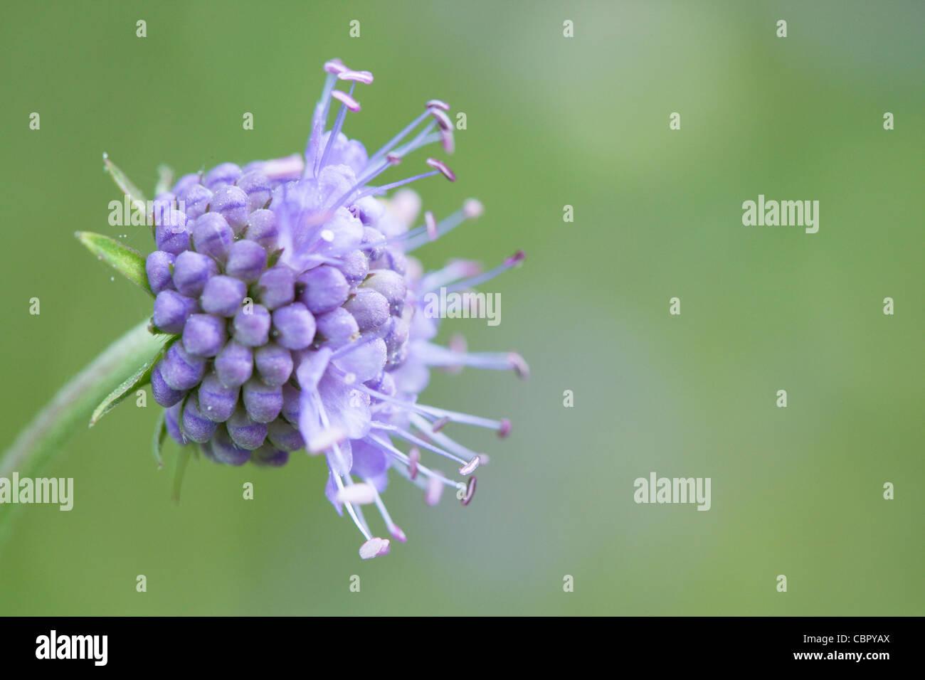 Devil's bit scabious Succisa pratensis, flowers. - Stock Image