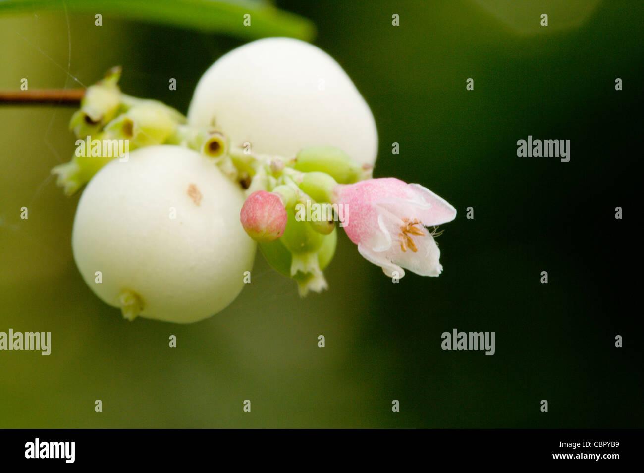 Snowberry, Symphoricarpos albus, berries and flowers. - Stock Image
