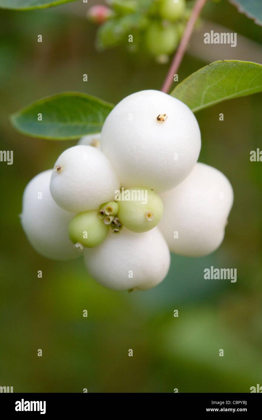 Snowberry, Symphoricarpos albus, berries. - Stock Image
