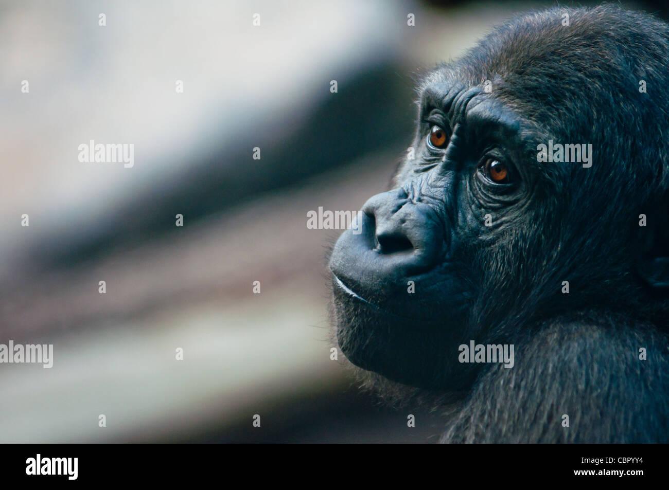 Western lowland Gorilla looking rather melancholy. - Stock Image