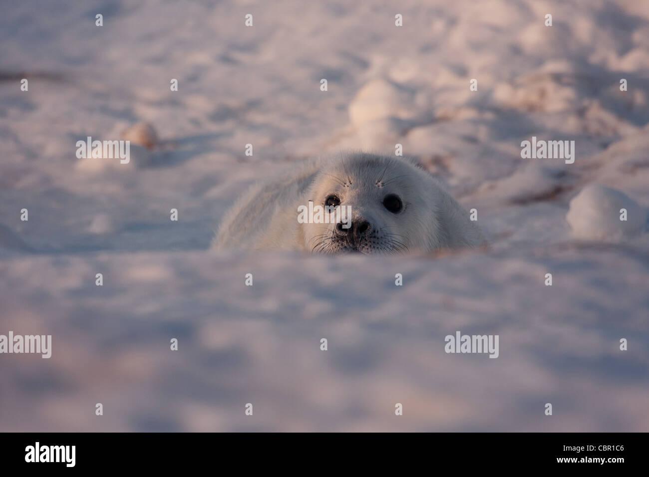 Seal pup at play - Stock Image