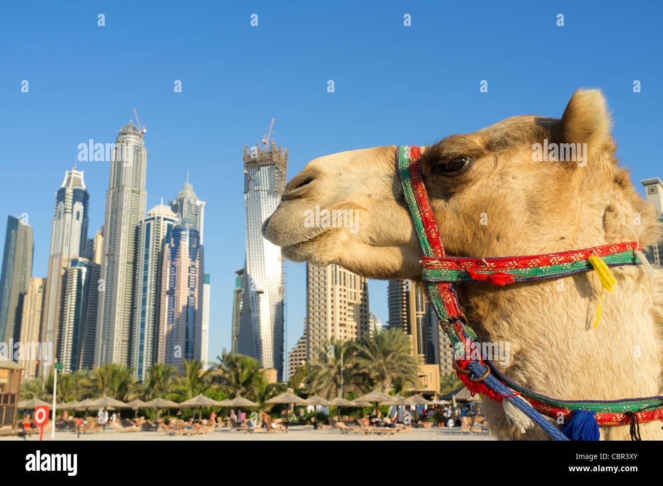 Camel dubai stock photos camel dubai stock images alamy camel on beach at jumeirah with new high rise buildings in new dubai in united altavistaventures Choice Image