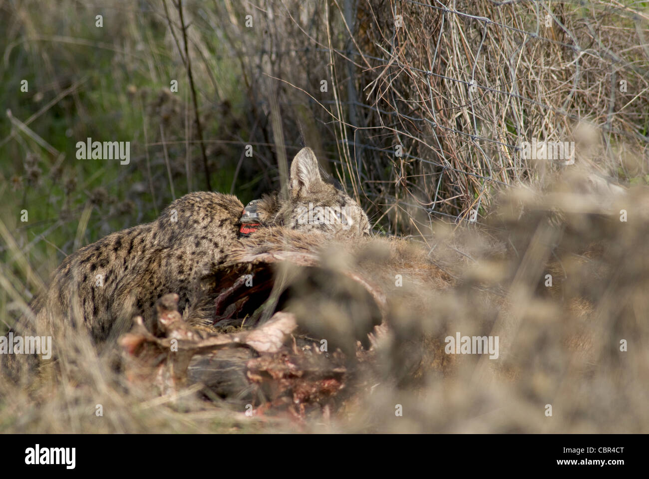 Wild Iberian Lynx feeding on carcass of red deer trapped in wire fence Stock Photo
