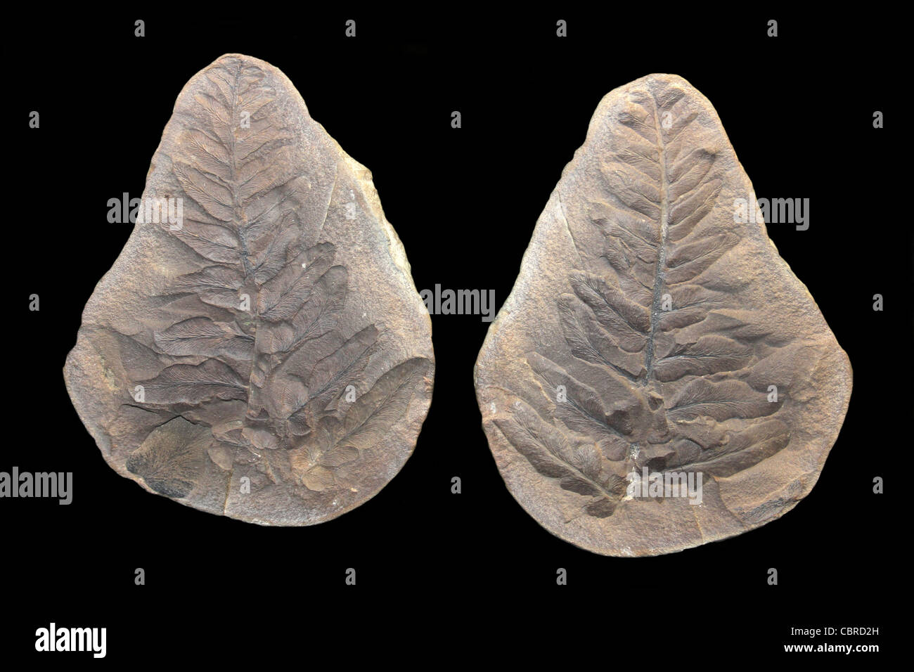 Fossil Leaf Neuropteris sp. Upper Carboniferous Period Dudley, Northumberland Stock Photo