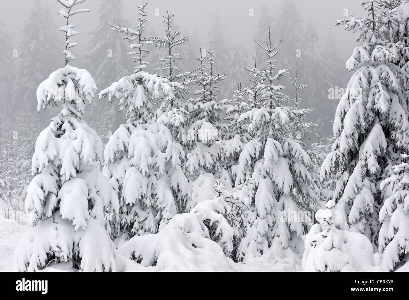 Spruce trees covered in snow in winter at moorland of the High Fens / Hautes Fagnes in the Belgian Ardennes, Belgium - Stock Image