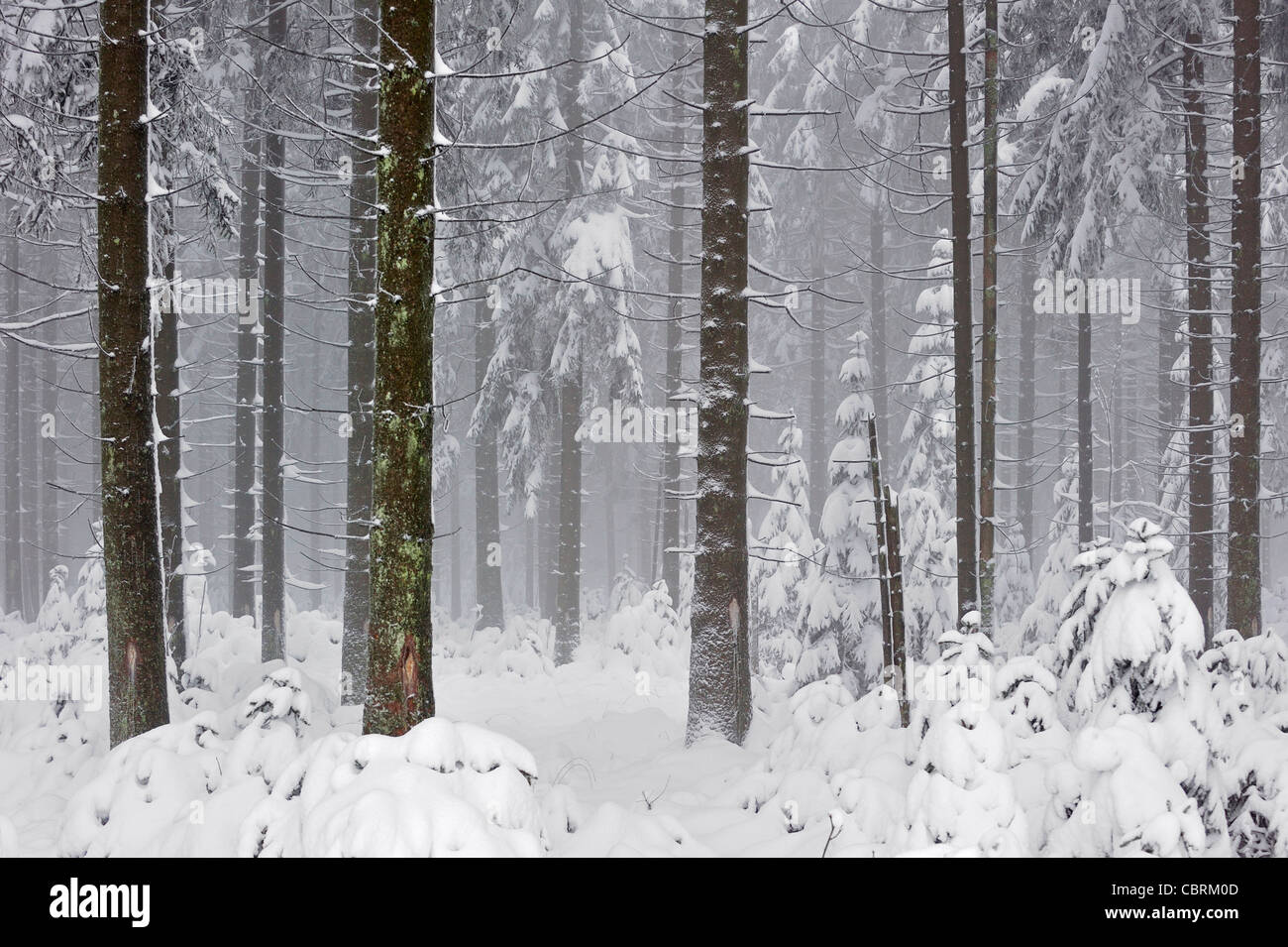 Pine tree trunks and branches covered in snow in forest in winter, High Fens / Hautes Fagnes, Belgium - Stock Image