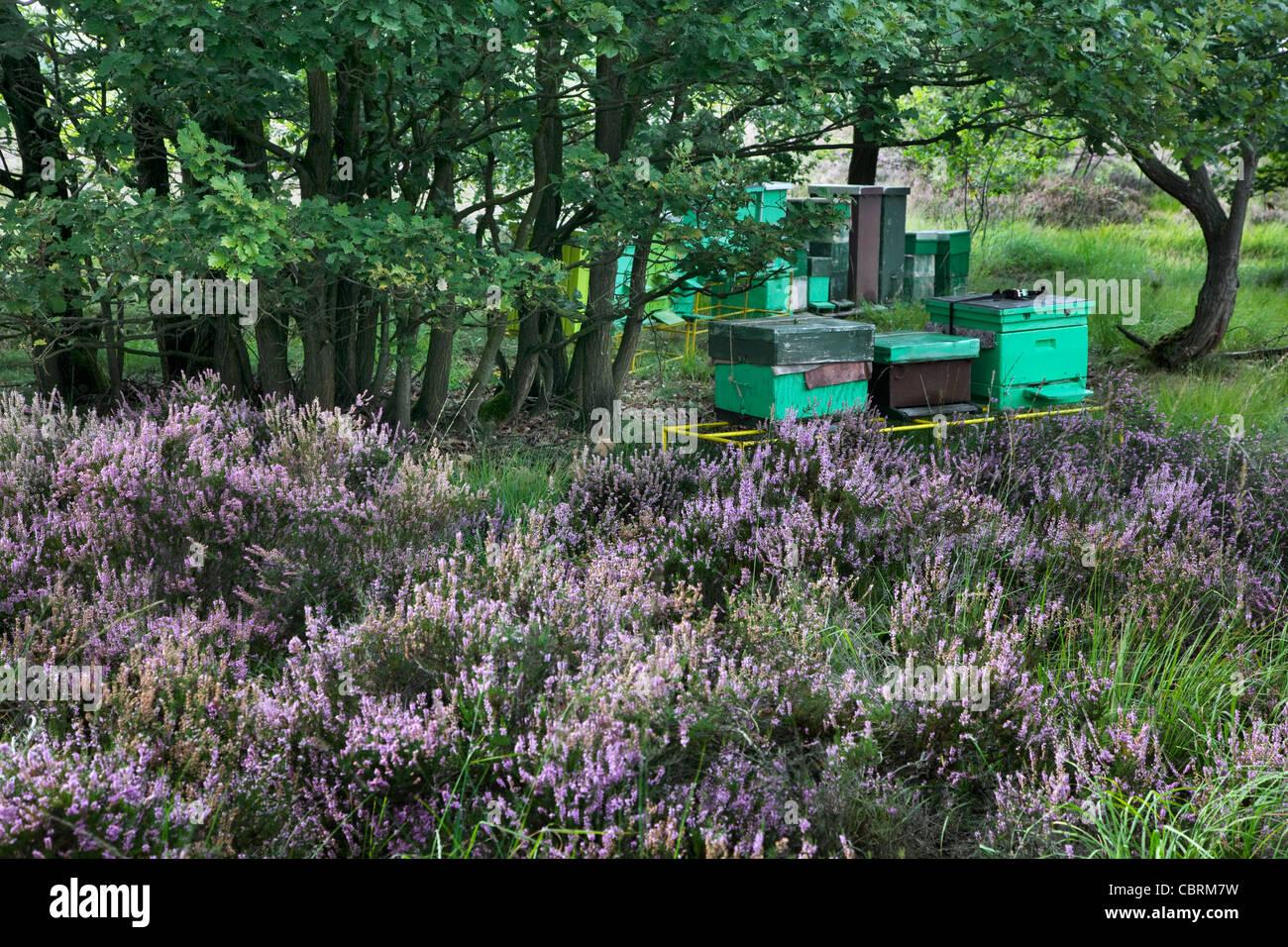 Beehives in purple heathland in summer at the Hoge Kempen National Park, Belgium - Stock Image