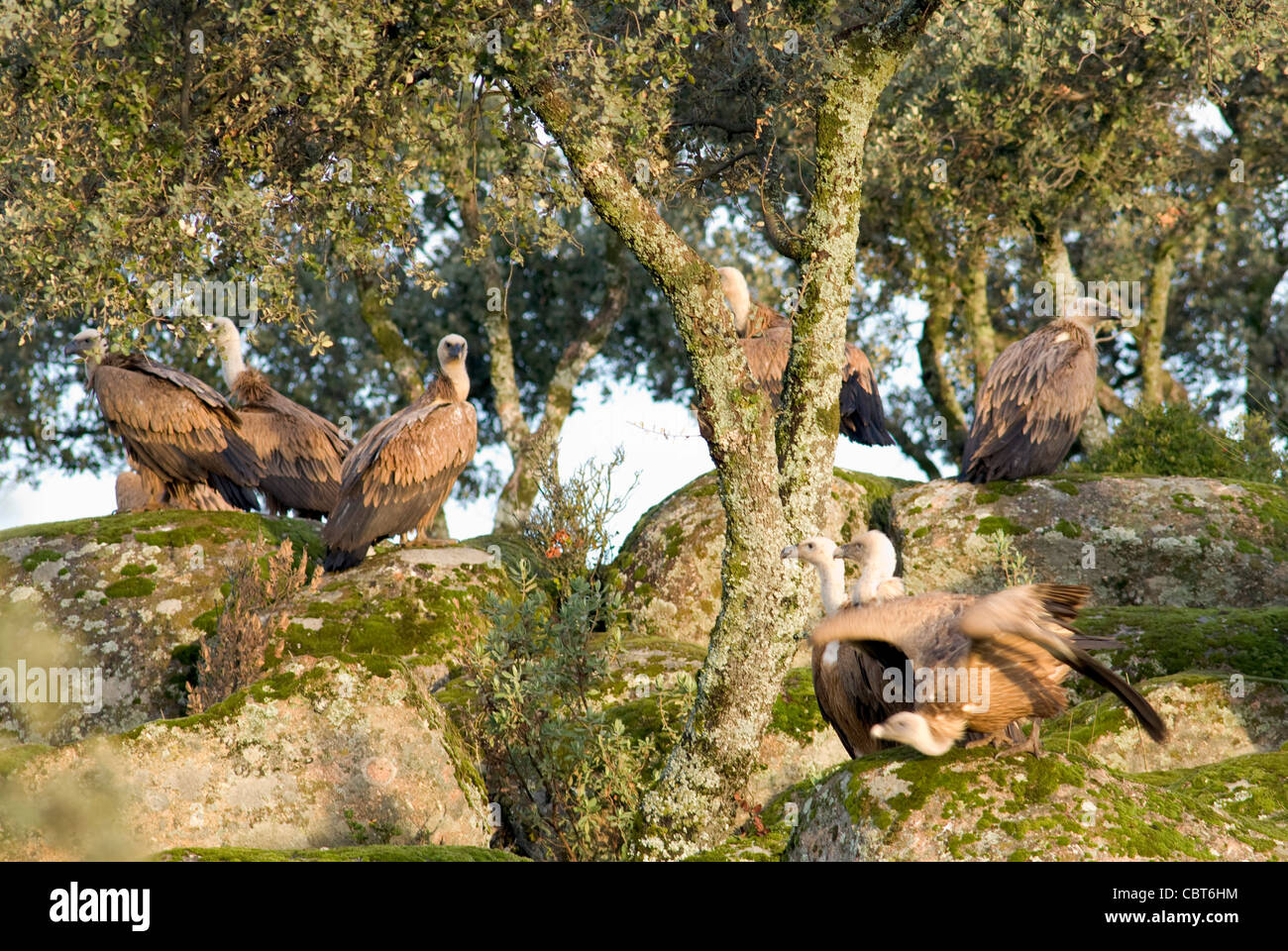 Griffon Vultures resting on moss covered granite boulders with  holm oak trees growing in the gaps - Stock Image