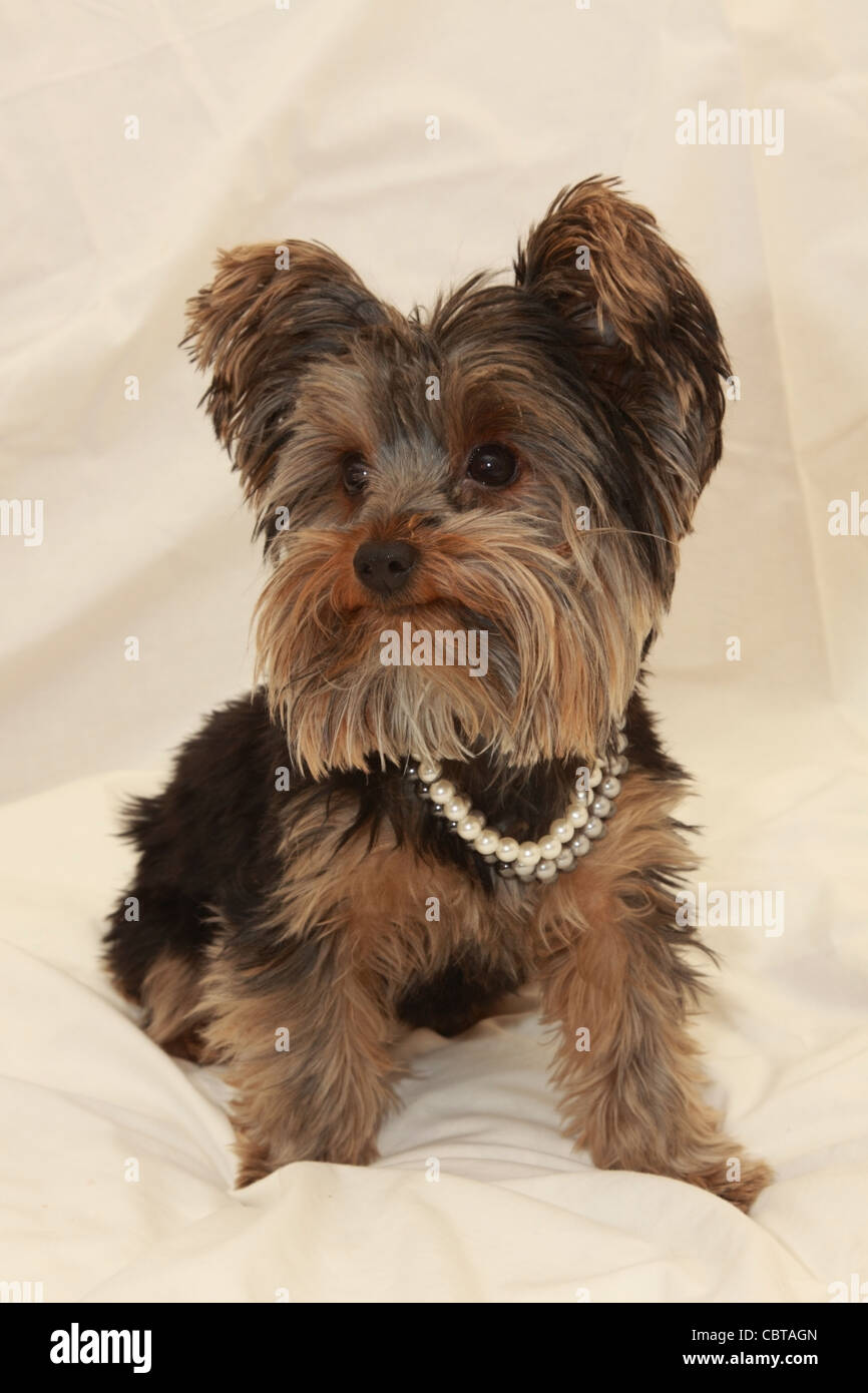 Toy Yorkie Stock Photos Toy Yorkie Stock Images Alamy