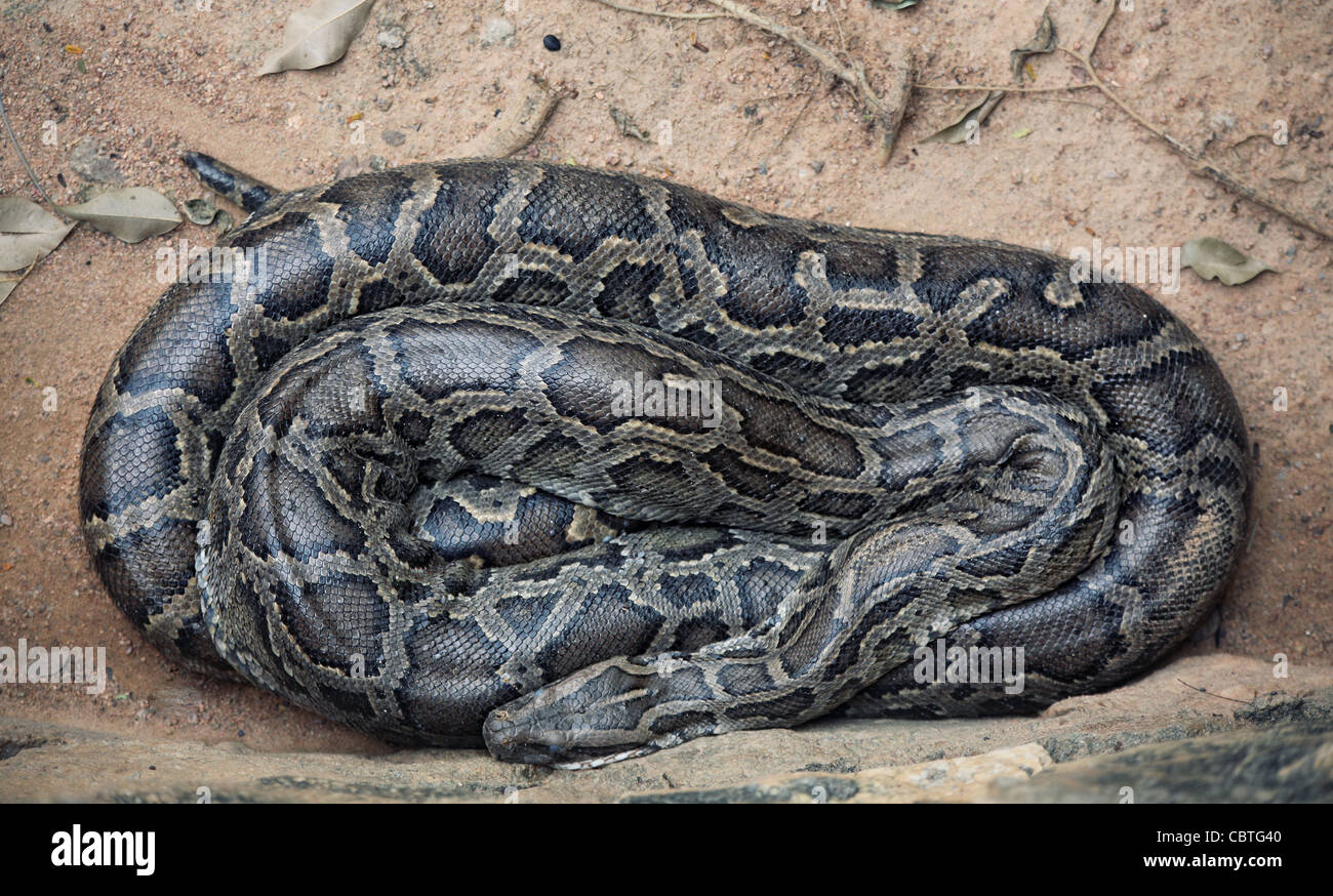 python photo - Stock Image