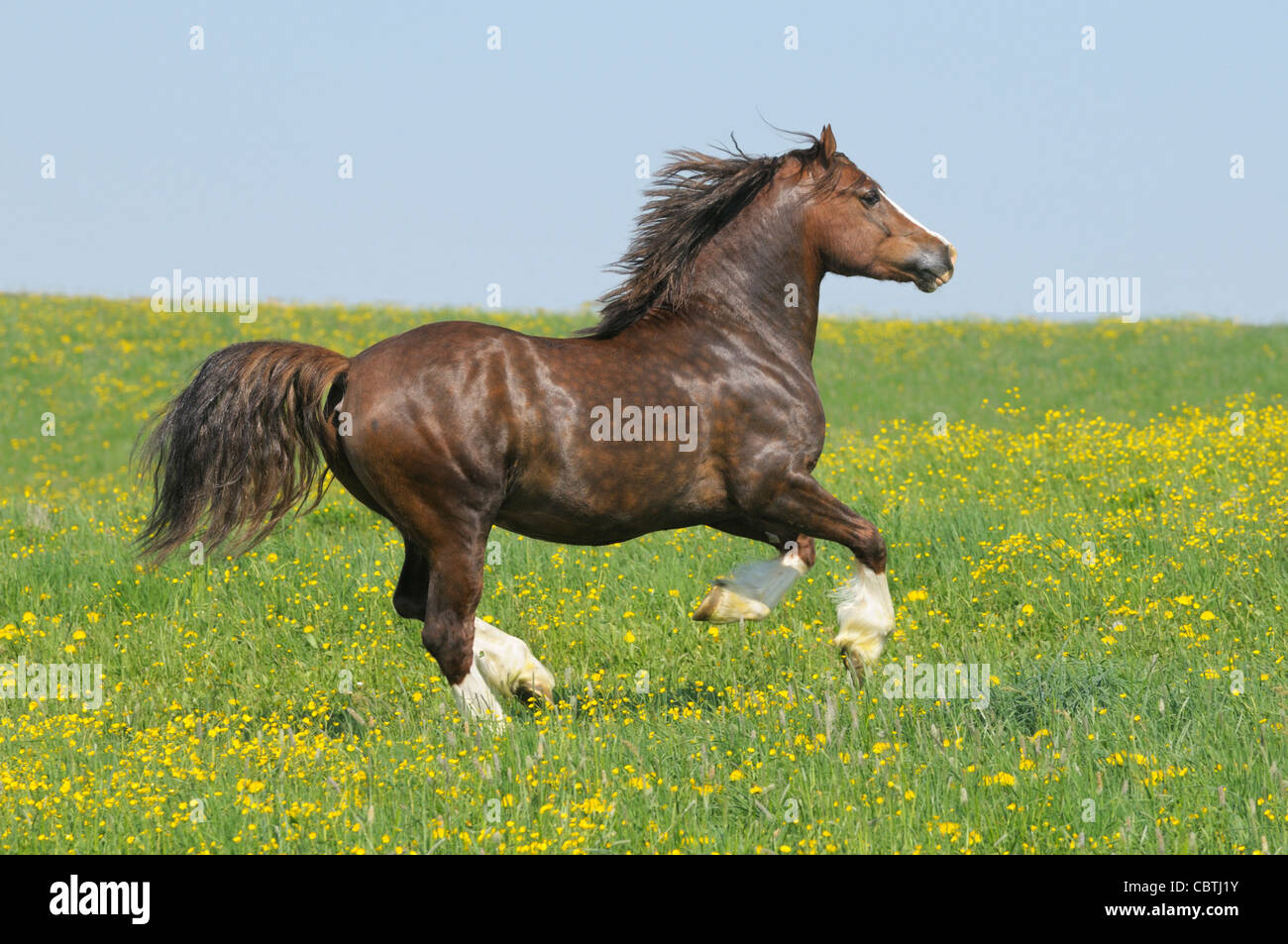 Welsh pony stallion galloping in the field - Stock Image