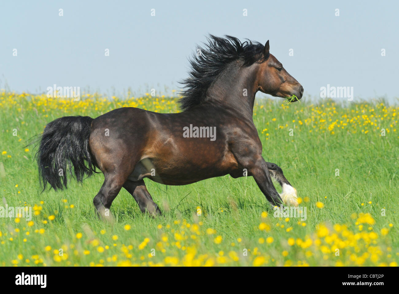 Welsh pony stallion (section C) galloping in the field - Stock Image