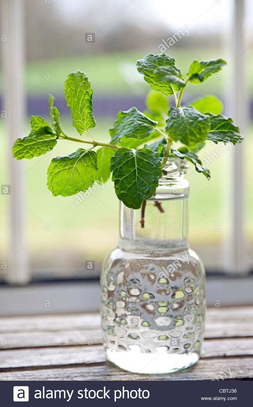 Newly picked common mint (Mentha spicata) in a glass jar on a window ledge - Stock Image