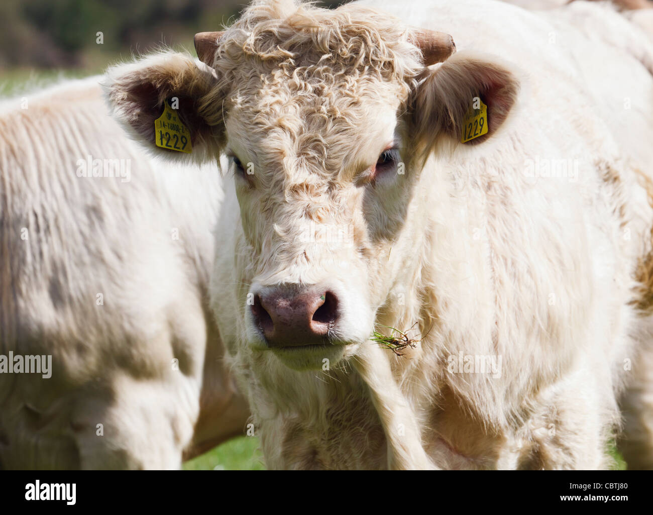 Animal wearing livestock identification tag in each ear, near Ballynacarriga, County Cork, Republic of Ireland. - Stock Image