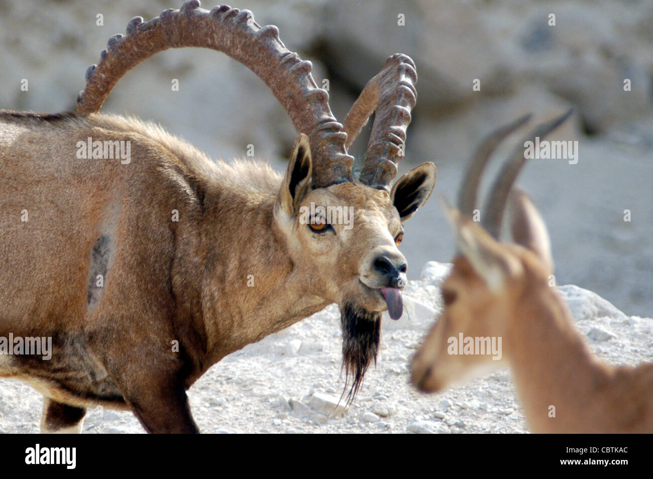 An Ibex Mountain goat pokes is tounge out while fighting over female/territory near the Dead Sea, Israel. - Stock Image